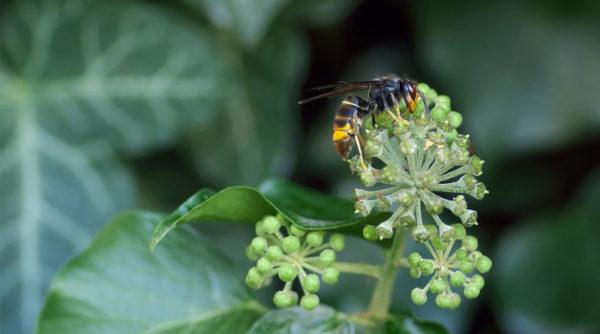 Comment se débarrasser des frelons asiatiques de manière naturelle ?